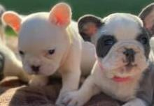 Lindos 2 cachorros de bulldogs frances