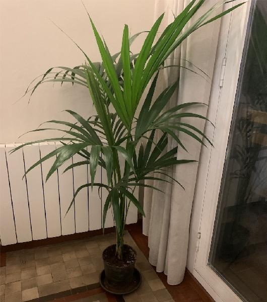 Palma kentia para interior