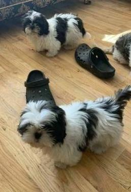 Adorable Shih Tzu Cachorros .
