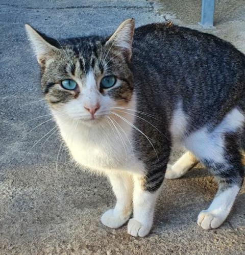 COBALT - gato en adopción