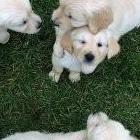 Cachorros de golden retriever disponibles.