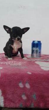 Chihuahua mini toy