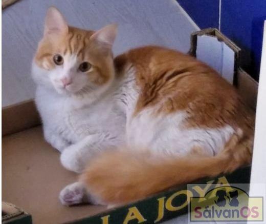 Dani (nombre de referenci - gato en adopción