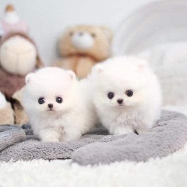 Gratis cachorritos de pomerania