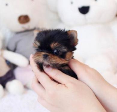 Gratis precios cachorritos de bichon maltés