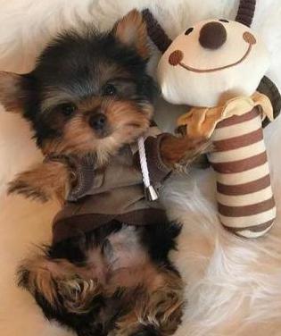 Gratis yorkshire terrier mini toy