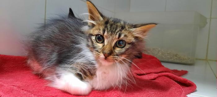 PATO - gato en adopción