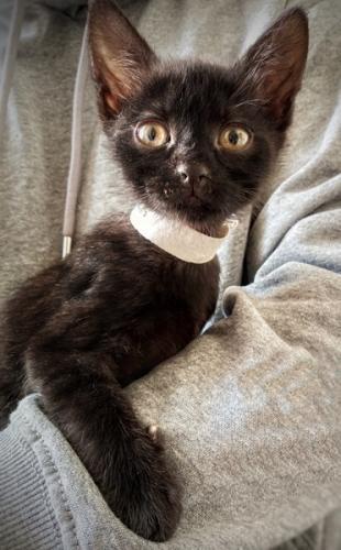 Venus - gato en adopción