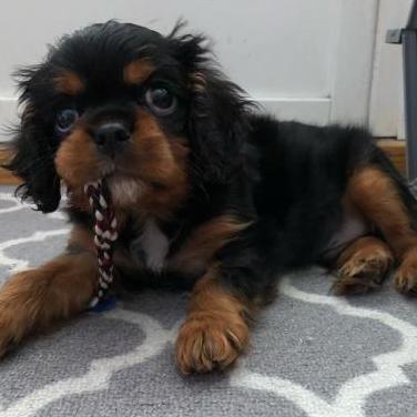 Cachorro cavalier en adopcion