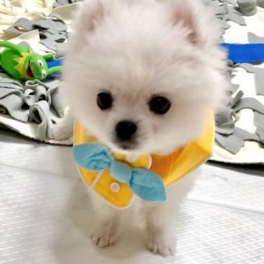 Cachorro pomeranian en adopcion