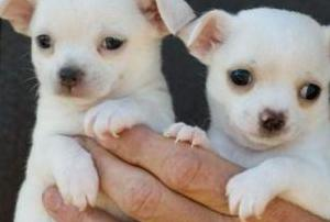 Chihuahua toy padres con pedigree,