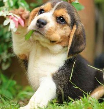 Adorable beagle cachorro como regalo
