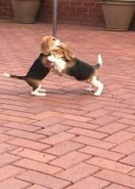 Cachorros beagle de prestigio saludable.