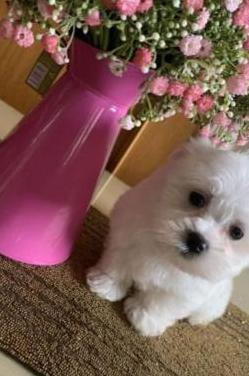 Cachorros feliz bichon maltes mini toy