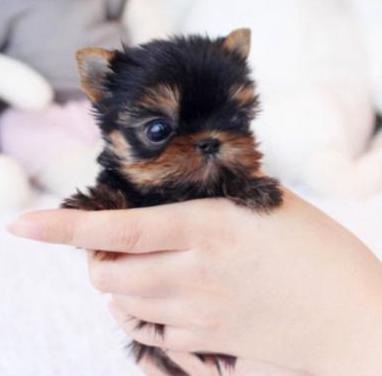 Cachorros yorkshire terrier mini toy (m y h)