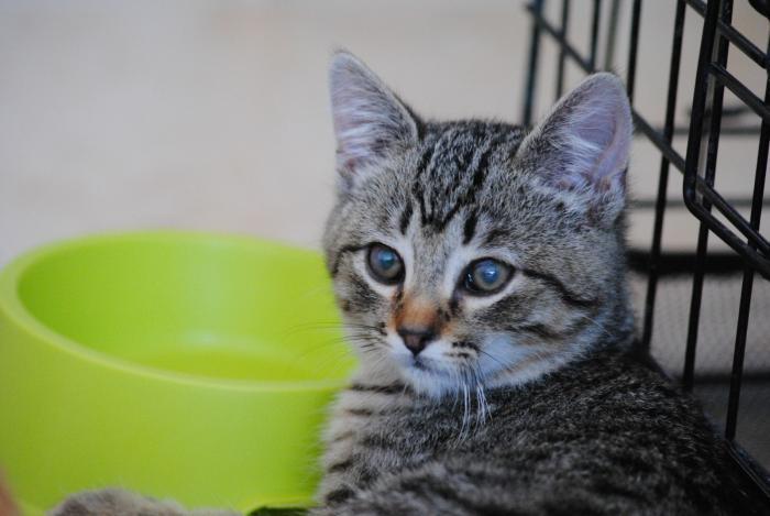 Aragorn - gato en adopción
