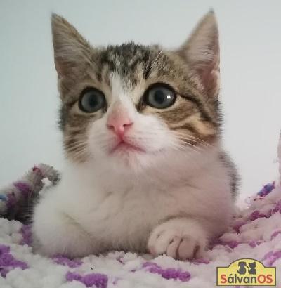 Cleo - gato en adopción