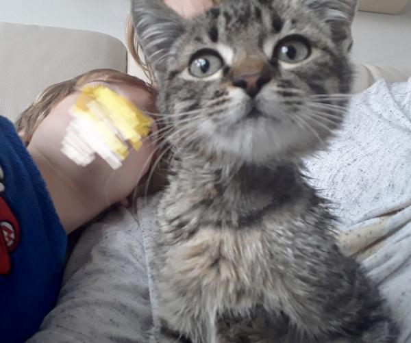 Tigrito - gato en adopción