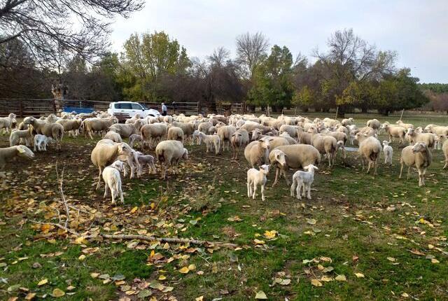 Venta de ovejas en segovia