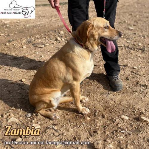 Zambia - perro en adopción