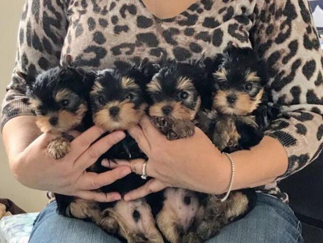 2regalo cachorros yorkshire terrier mini toy