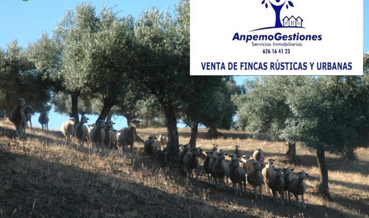 Venta de olivar adehesado secano en sevilla