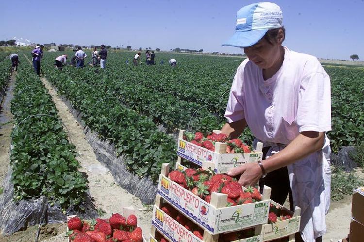Se necesita mujeres para la fresa en campo