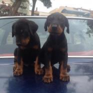 Doberman cachoros