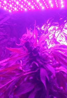Focos led cultivo indoor