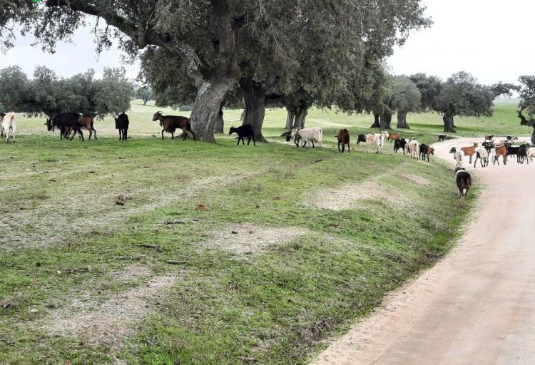 Venta de 100 Cabras serranas en Cáceres
