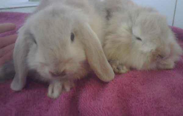 Regalo conejos enanos
