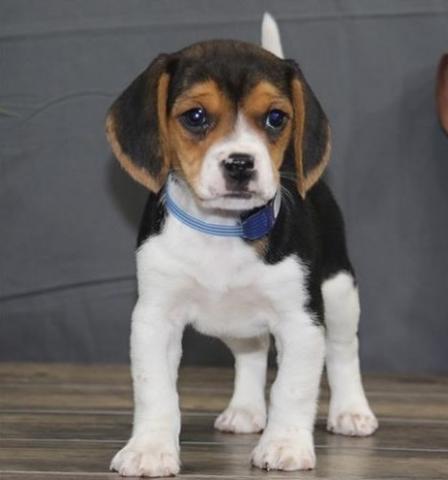 Cachorros regalo beagle hembra y macho,regalo cachorros