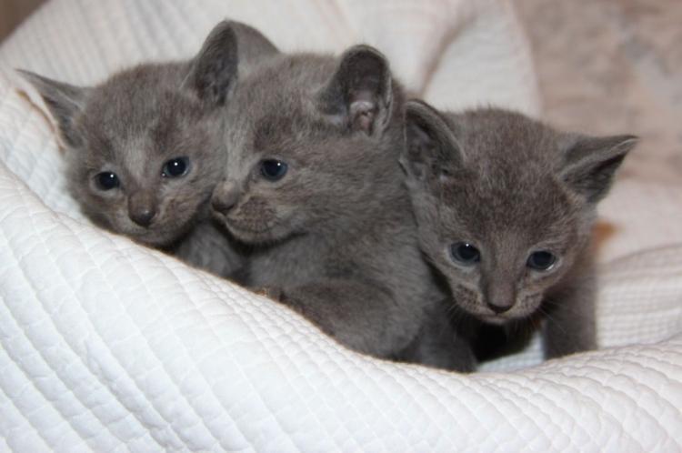 Dispongo de unos gatitos de azul ruso