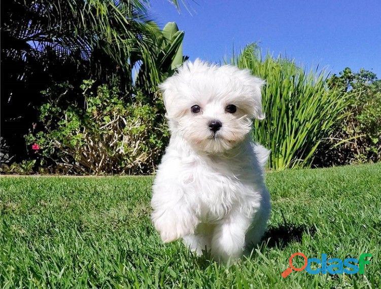 hermoso cachorro maltés como regalo