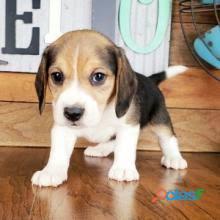 lindo perrito beagle como regalo