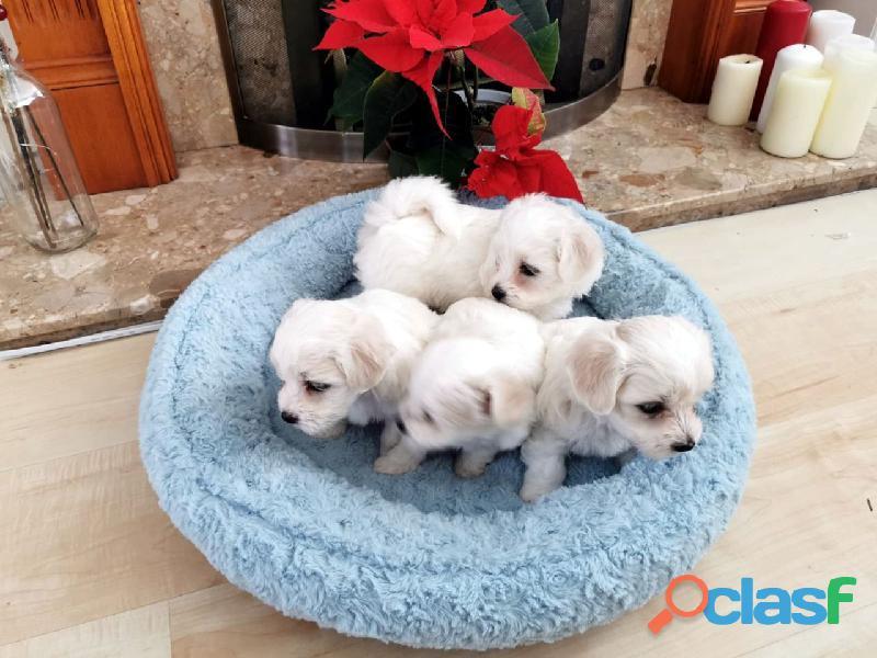 REGALO Preciosos Cachorros Maltés