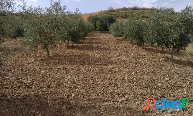 Finca de olivos en plena producción
