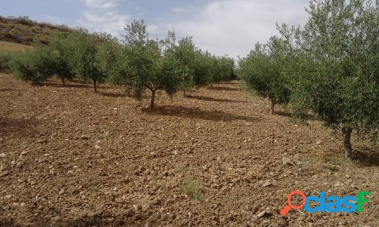 Finca de Olivos en Plena Producción 1
