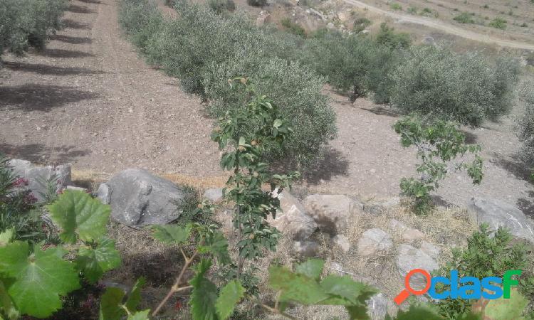 Finca de Olivos en Plena Producción 2