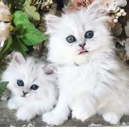 Gatito persa en adopción