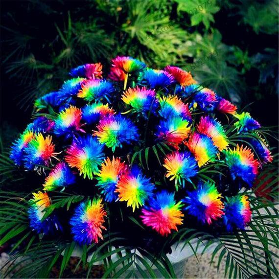 Hybrid rainbow chrysanthemum flowers