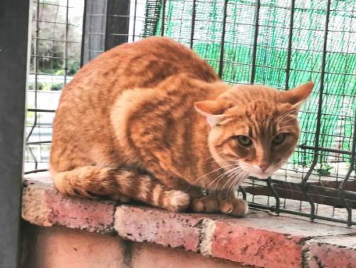 Mandarino - gato en adopción