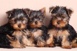 Yorkshire terrier mini toy puppies a la venta,