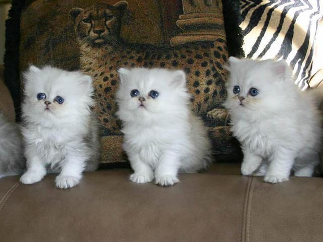 Compre excelente gatitos persa,