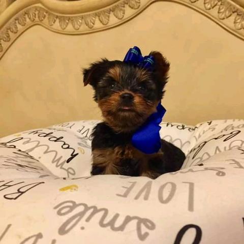 Compre excelente yorkshire terrier mini toy,