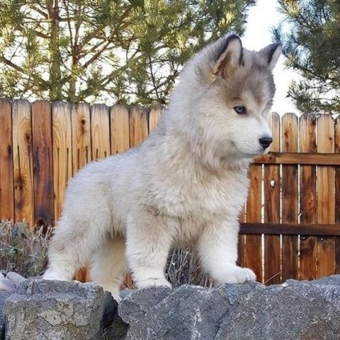Cachorros husky siberiano que buscan un nuevo hogar