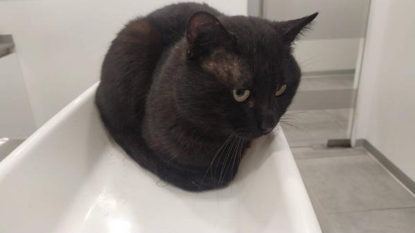 Diesel - gato en adopción