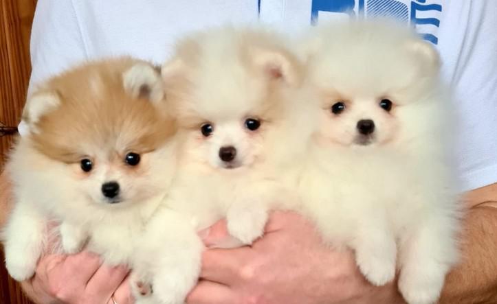 Cachorros de pomerania para un nuevo hogar