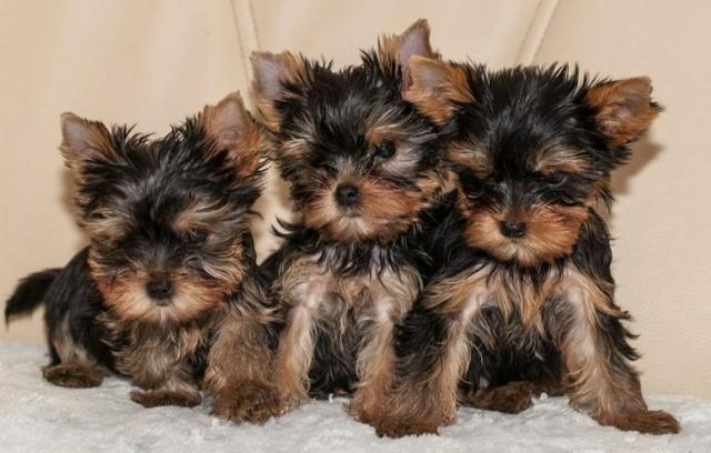 Cachorros malteses disponibles.contáctanos vía whatsapp