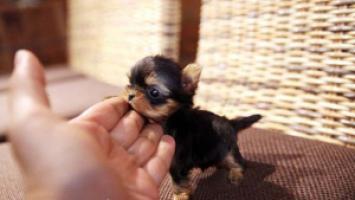 Regalo whatsapp +(34) 634143523 cachorros yorkshire terrier